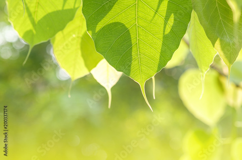 detail of bo leaf and back lighting. Canvas Print