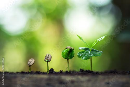 Coffee seed tree sapling in nature
