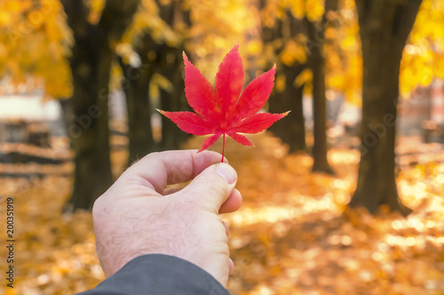 Spoed Foto op Canvas Canada A man's hand holds a red maple leaf in an autumn park. Toned