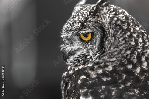 Fototapeta Head shot of owls obraz na płótnie