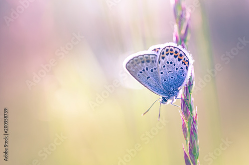 Fotografie, Obraz  Nature close-up, sunset meadow and summer grass and beautiful butterfly