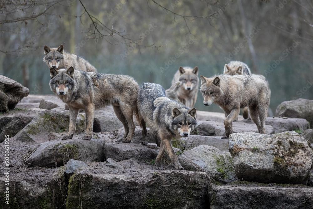 Fototapeta Grey Wolf Animal