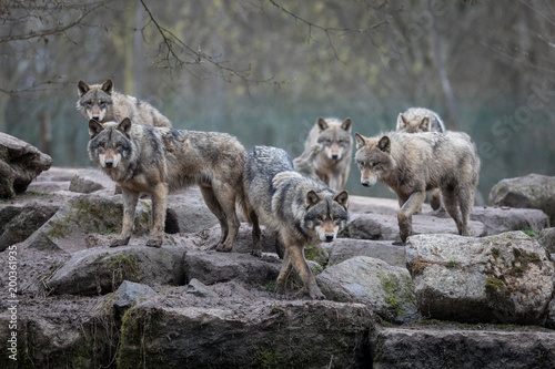 Staande foto Wolf Grey Wolf Animal