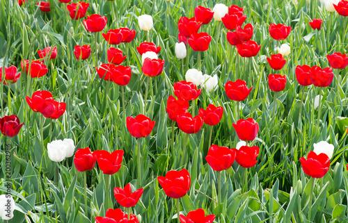 Plakat Czerwone i białe tulipany - czerwone i białe tulipany