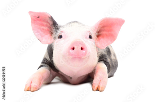 Portrait of a little cute pig isolated on white background