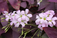 Purple Shamrock Flowers Close ...