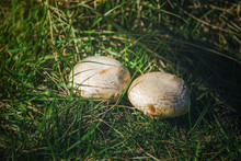 Two White Big Mushrooms Grow I...