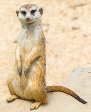 South Africa, Standing Meerkat Or Suricate Animal Looks Into The Camera