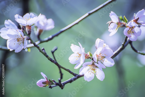 Flowers of an almond tree close-up on a green  background плакат