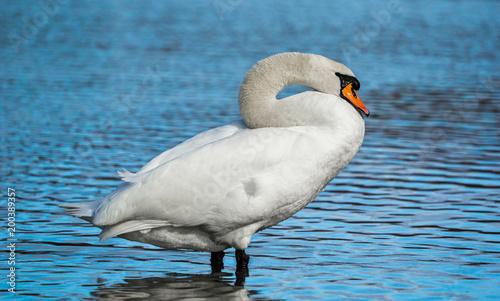 Staande foto Zwaan Weißer wunderschöner Schwan steht im Wasser