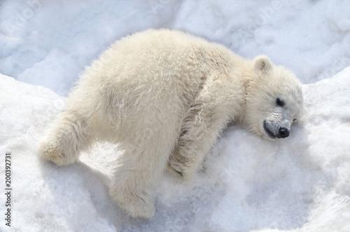 Белый медвежонок играет на снегу.