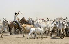 Herd Of Cows In  Los Llanos