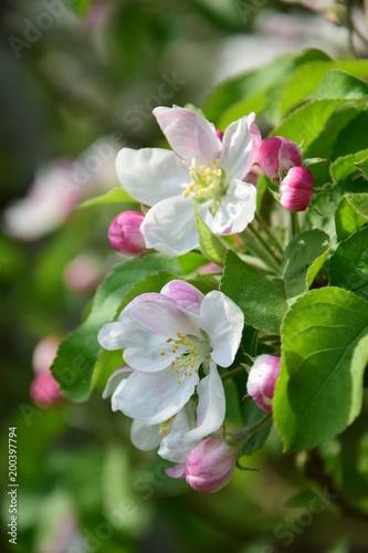 Apfelblüte, Blütezeit in Südtirol