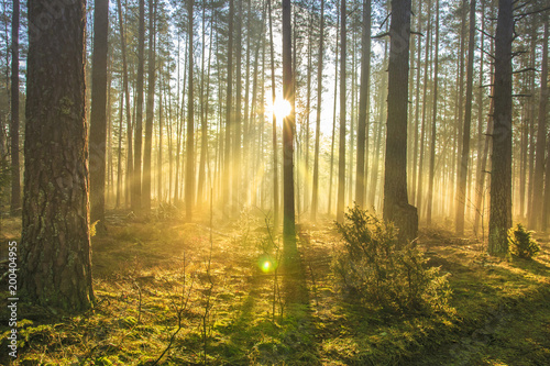 Fotobehang Natuur Bright sun rays through trees in green spring forest. Landscape of forest in early morning. Natural nature. Scenery woodland with sunshine. View on green forest in backlight.