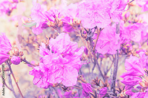 Foto op Canvas Azalea Bushes of blooming azalea. Candid.