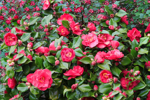 Canvas Print Camellia flowers in full bloom