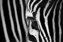 Zebra Locked