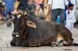 Cow lies in the middle of the busy streets of the Indian city.