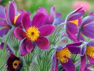 Obraz na Szkle Kwiaty Kuhschelle