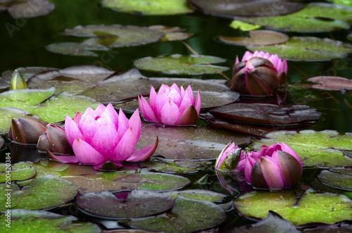 Poster Waterlelies Seerosen