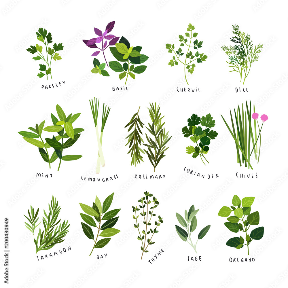 Fototapety, obrazy: Clip art illustrations of herbs and spices such as parsley, basil, chervil, dill, mint, lemongrass, rosemary, coriander, chives, tarragon, bay leaves, thyme, sage and oregano