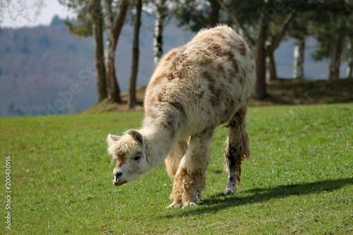 Poster Lama Lama grast auf einer Weide