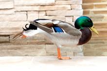 Mallard Duck Stretching His Legs