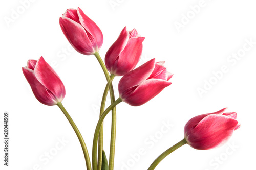Toned blue tulip flowers isolated on a white background Wallpaper Mural
