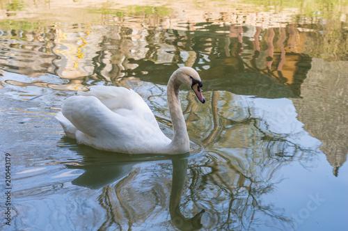 Staande foto Zwaan Swan on the lake in the city park