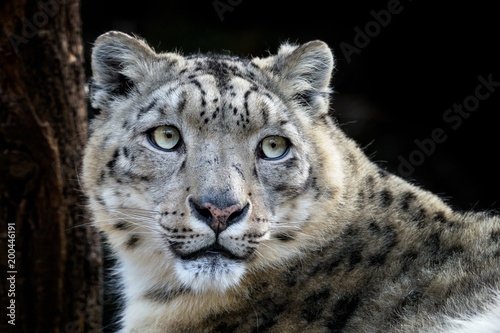 In de dag Panter Face portrait of snow leopard - Irbis (Panthera uncia).