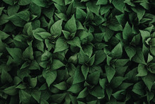 Green Plant Leaf Background, Top View, Dark