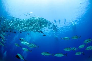 Fototapeta na wymiar Big eye Trevally Jack, (Caranx sexfasciatus) in polarized school, bait ball or tornado with a diver taking pictures. Cabo Pulmo National Park, The world's aquarium. Baja California Sur,Mexico.