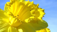 Two Yellow Daffodils