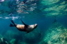 Californian Sea Lion (Zalophus...