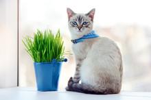 Blue Eyed Kitten In A Collar S...