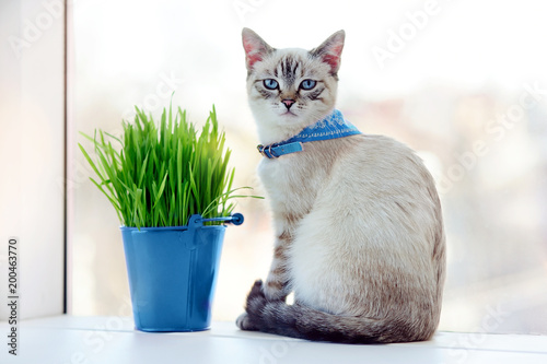 Papiers peints Jardin Blue eyed kitten in a collar sitting next to the bucket with fresh cat grass