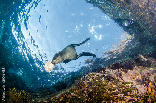 Photo  Californian sea lion (Zalophus californianus) swimming and playing in the reefs of los islotes in Espiritu Santo island at La paz,The world's aquarium