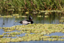 Male Ring-necked Duck In The Flora Filled Marsh