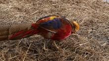 Colorful Beautiful Bird - Phea...