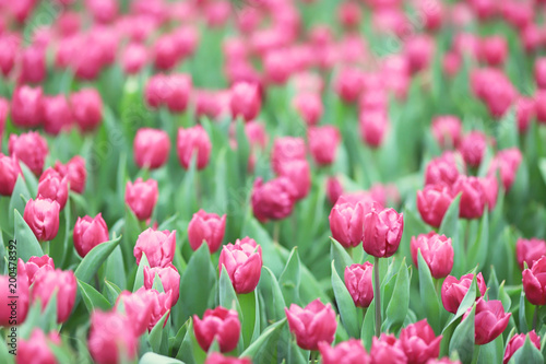 In de dag Candy roze the Different flowers and blooming tulips at hk