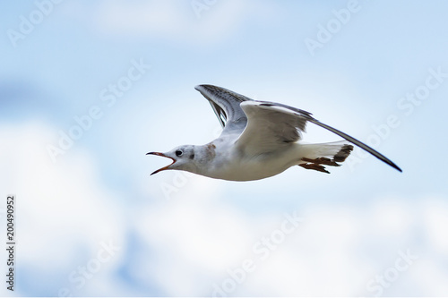 flying seagull with open beak on blue sky background Poster