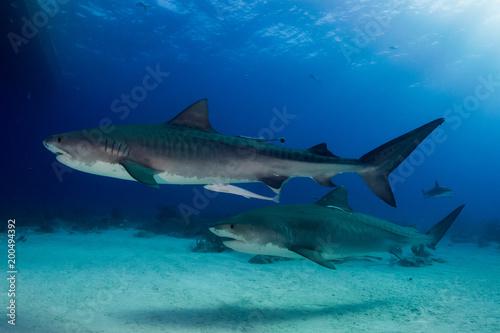 Keuken foto achterwand Turkoois Two tiger sharks Bahamas