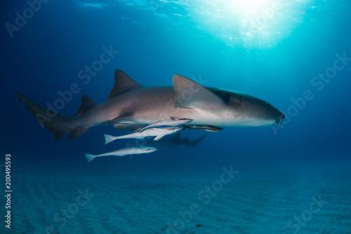 Nurse shark bahamas bimini