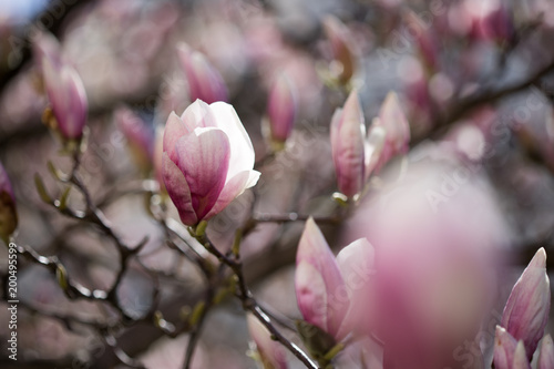 Foto op Plexiglas Magnolia Rosa Magnolienblüten im Frühling