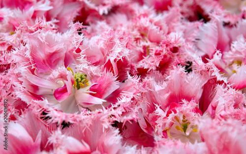 Plakat Różowe tulipany tło.