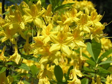 Spring Flowering Yellow Azaleas In The Park