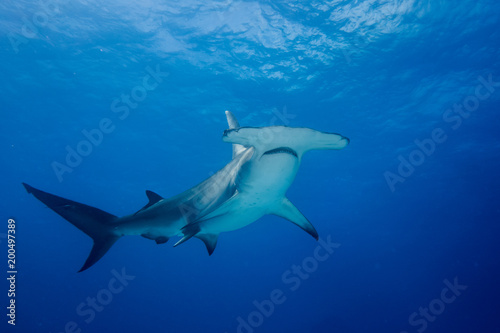 Obraz Great hammerhead shark Bahamas Bimini - fototapety do salonu