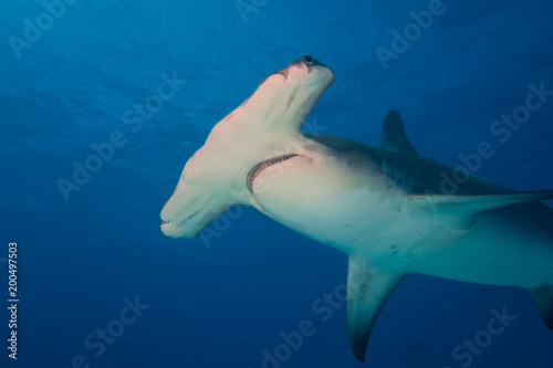 Great hammerhead shark Bahamas Bimini