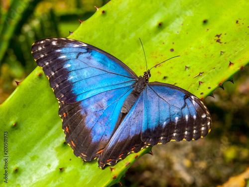 Cuadros en Lienzo Blue Morpho Butterfly, Morpho peleides, sitting on a green leave.