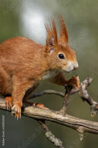 Cadres-photo bureau Squirrel Eichhörnchen